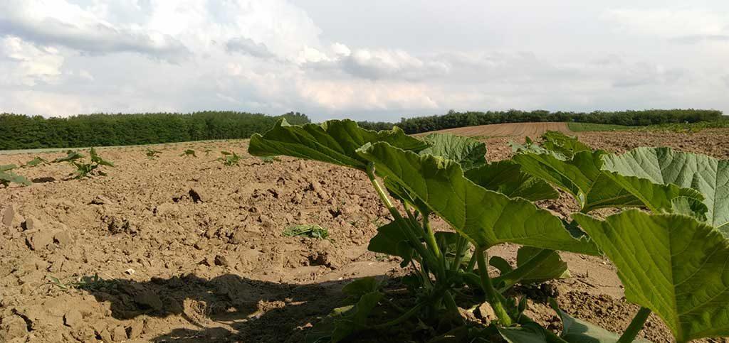 Nagydobosi sütőtök termesztése